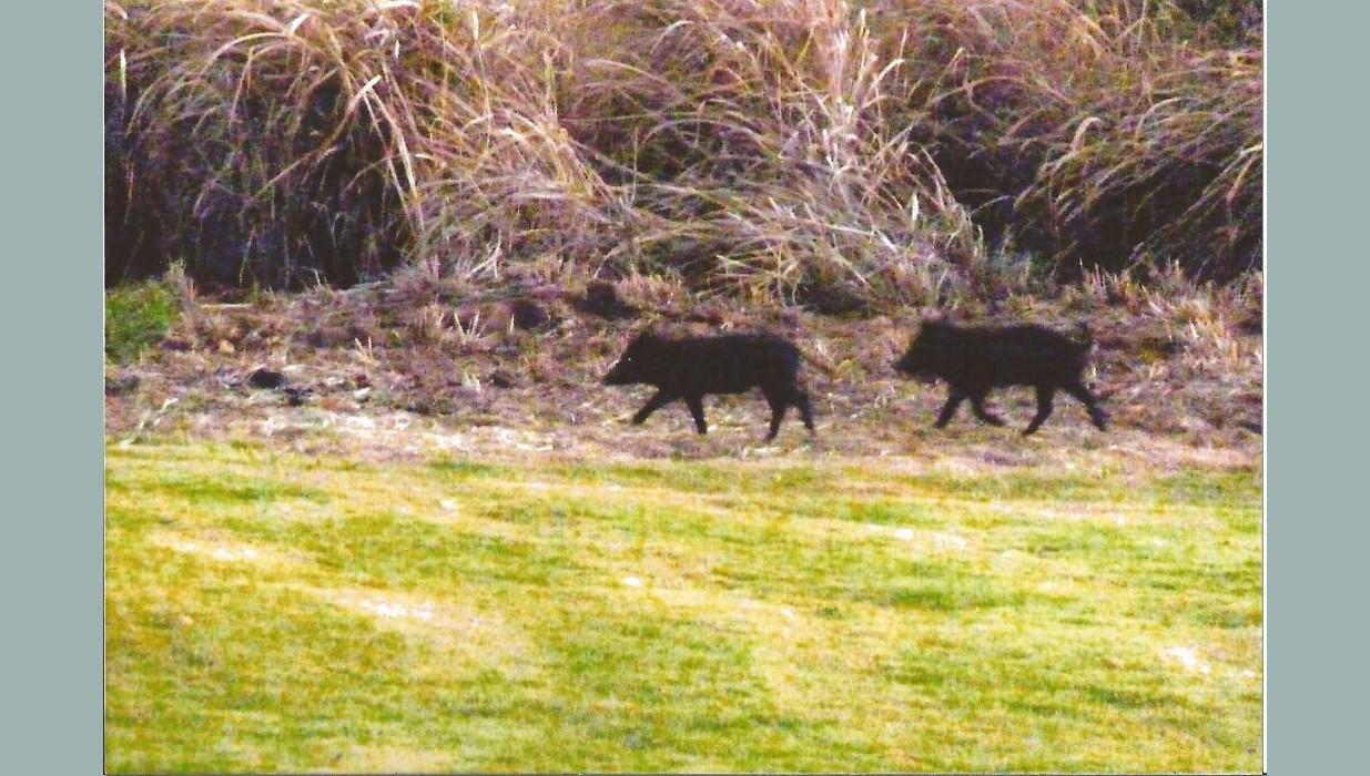 Pigs baby ranch yard 2.jpg