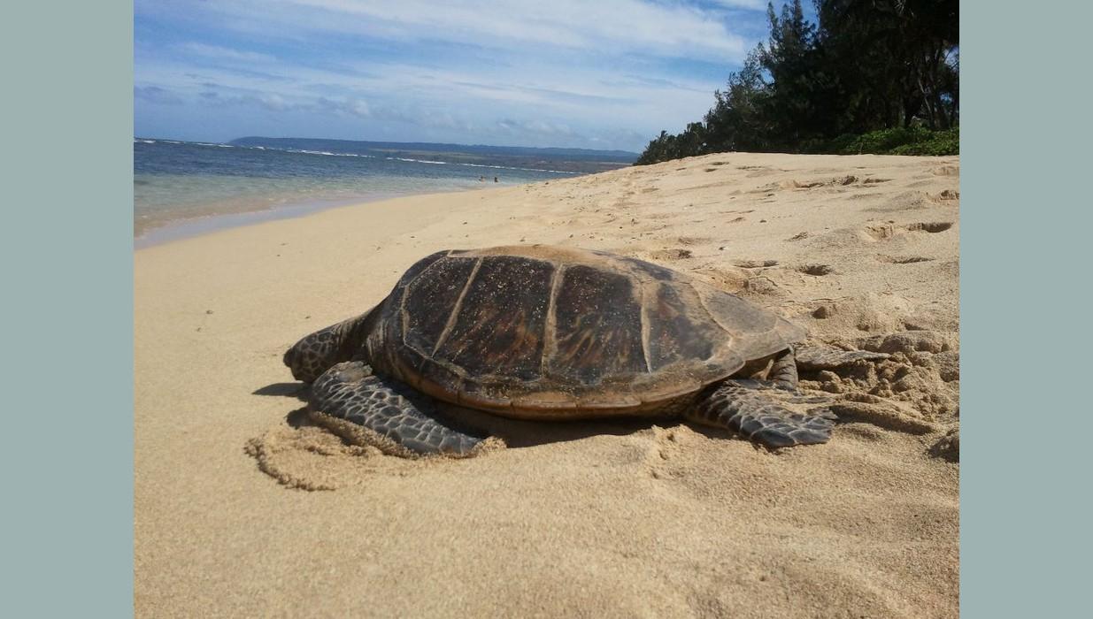 turtle mokuleia.jpg